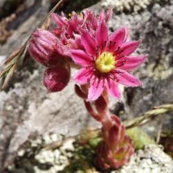 Sempervivum arachnoideum par LE BON DEPOT LBD de Pixabay
