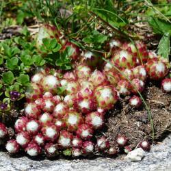 Sempervivum arachnoideum par Hans Braxmeier de Pixabay