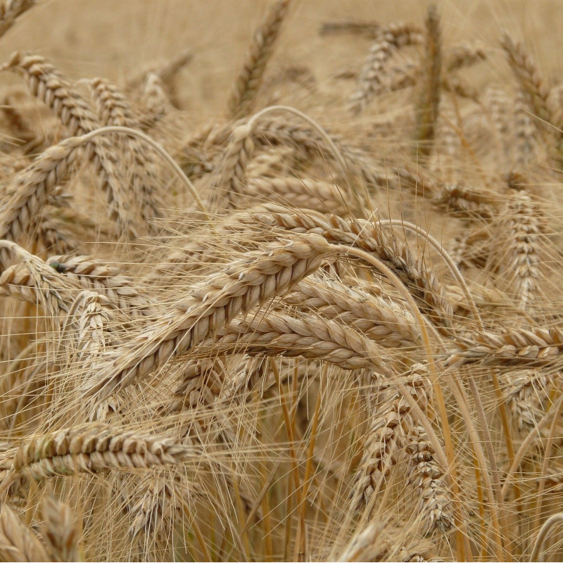 Secale cereale par Hans Braxmeier de Pixabay
