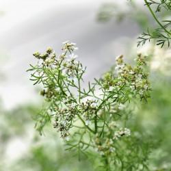 Coriandrum sativum par Pitsch de Pixabay