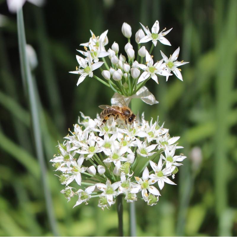 Allium tuberosum par Chesna de Pixabay