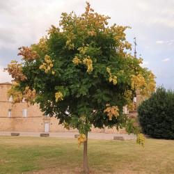 Koelreuteria paniculata du Château de Jonquières (34) par Semences du Puy