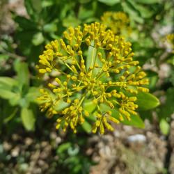 Bupleurum fruticosum Semences du Puy