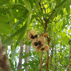 Xanthoceras sorbifolia Semences du Puy