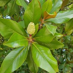 Magnolia grandiflora Semences du Puy