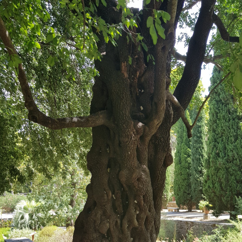 Phillyrea latifolia Semences du Puy