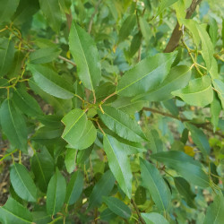 Prunus lusitanica Semences du Puy