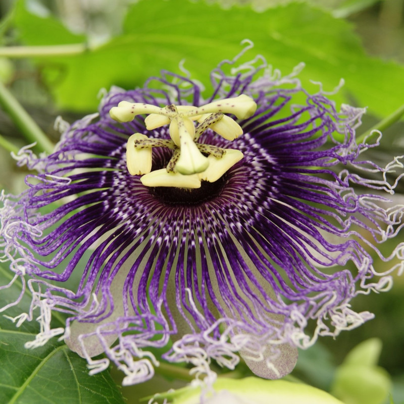 Passiflora incarnata par RobinVerhoef de Pixabay