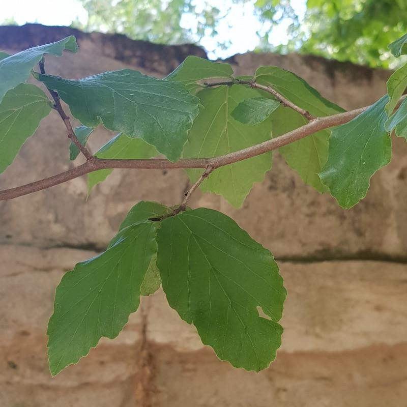 Parrotia persica Semences du Puy