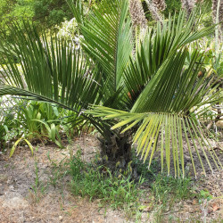Jubaea chilensis par Semences du Puy