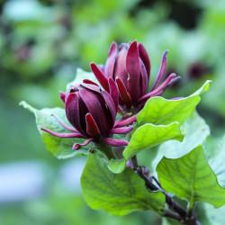 Calycanthus floridus par Benjamin C de Pixabay