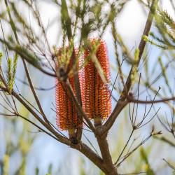 Banksia ericifolia par pen_ash de Pixabay