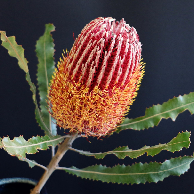 Banksia menziesii par BecBartell de Pixabay