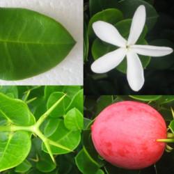 Carissa grandiflora par Wmpearl de Wikipédia