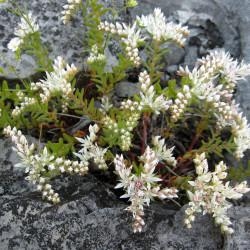 Sedum pulchellum par Mason Brock ( Masebrock ) de Wikimedia commons