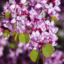 Cercis occidentalis par Stan Shebs de Wikimedia commons