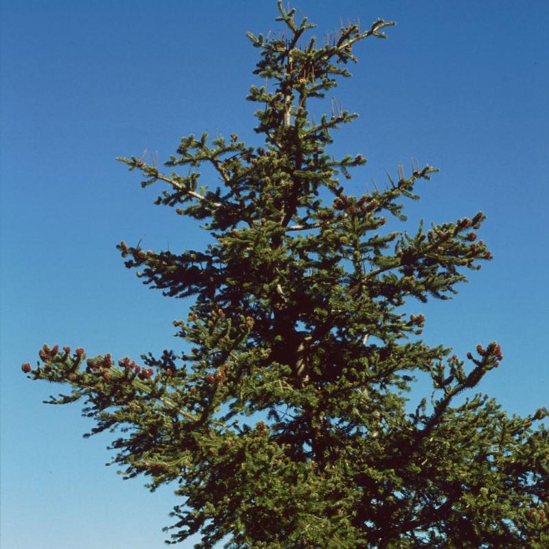 Abies cephalonica de Franz Xaver, CC BY-SA 3.0, via Wikimedia Commons