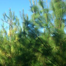 Pinus maximinoi
