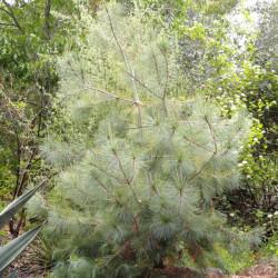 Pinus maximartinezii* 10 g...