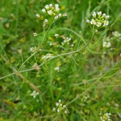 Capsella busra pastoris Semences du Puy