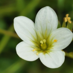 Saxifraga granulata Semences du Puy