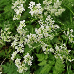 Anthriscus Sylvestris - Semences du Puy