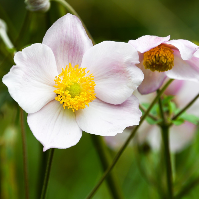 Anemone sylvestris par dendoktoor de Pixabay