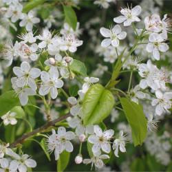 Prunus mahaleb de Rasbak CC BY-SA 3.0 via Wikimedia Commons