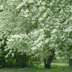 Prunus padus par Hans Braxmeier de Pixabay