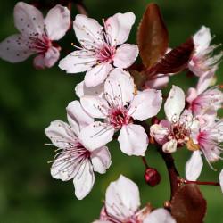 Prunus myrobolana par JA2020 de Pixabay