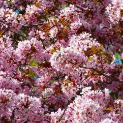 Prunus myrobolana par LoggaWiggler de Pixabay