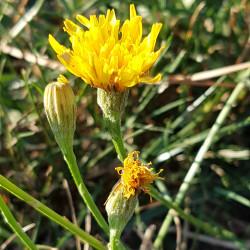Leontodon autumnalis / Scorzoneroides autumnalis - Semences du Puy
