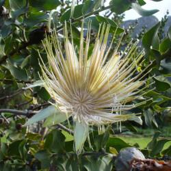 Protea aurea par Andrew Massyn de Wikimedia commons