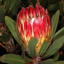 Protea obtusifolia par Plantes de Wikimedia commons