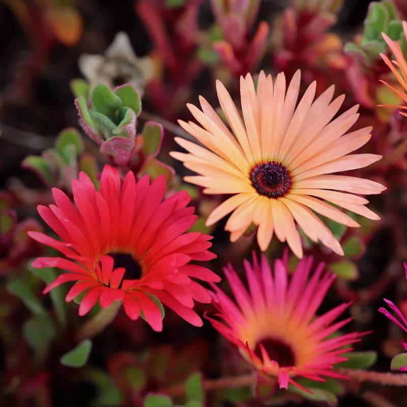 Dorotheanthus bellidiformis par Annette Meyer de Pixabay