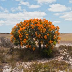 Nuytsia floribunda par Graeme Churchard Wikimedia