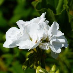 Pelargonium zonale par Hans Braxmeier de Pixabay