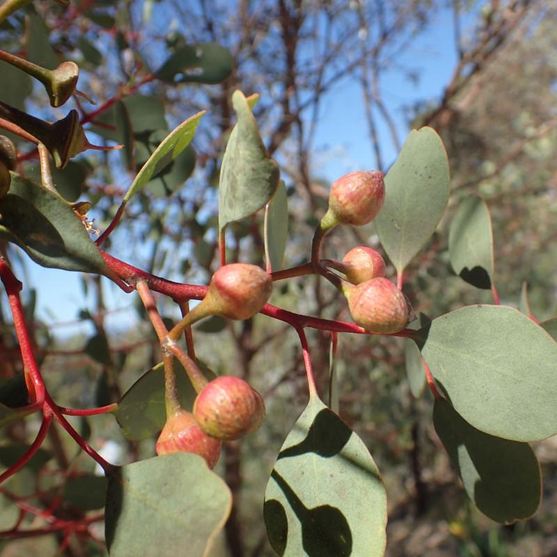 Eucalyptus websteriana par Geoff Derrin Wikimedia