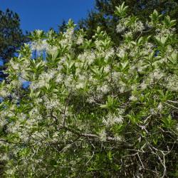 Chionanthus virginicus Arkansas par Eric Hunt Wikimedia