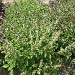 Ocimum basilicum 'Mrs. Burns' de Krzysztof Ziarnek, Kenraiz, CC BY-SA 4.0, via Wikimedia Commons