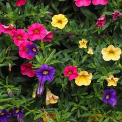 Petunia par Hans Braxmeier de Pixabay