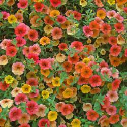 Petunia par Dagoberta de Pixabay