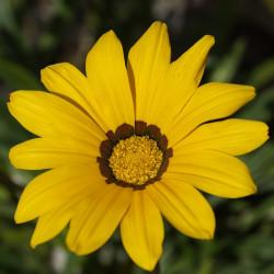 Gazania splendens Sunshine par Taken de Pixabay