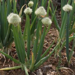 Allium fistulosum de Dalgial, CC BY-SA 3.0, via Wikimedia Commons