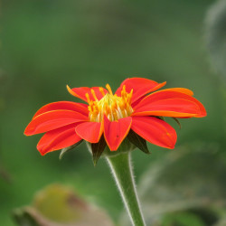vTithonia rotundifolia de Alejandro Bayer Tamayo from Armenia, Colombia, CC BY-SA 2.0, via Wikimedia Commons