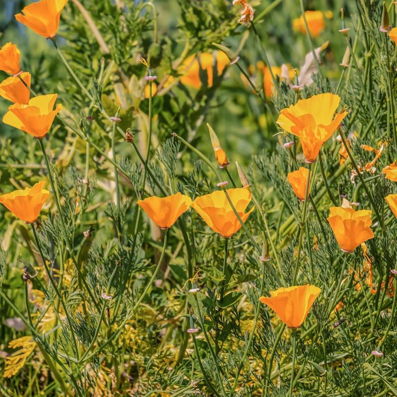 Eschscholzia californica par Couleur de Pixabay