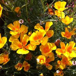 Eschscholzia californica par Marliese Zeidler de Pixabay