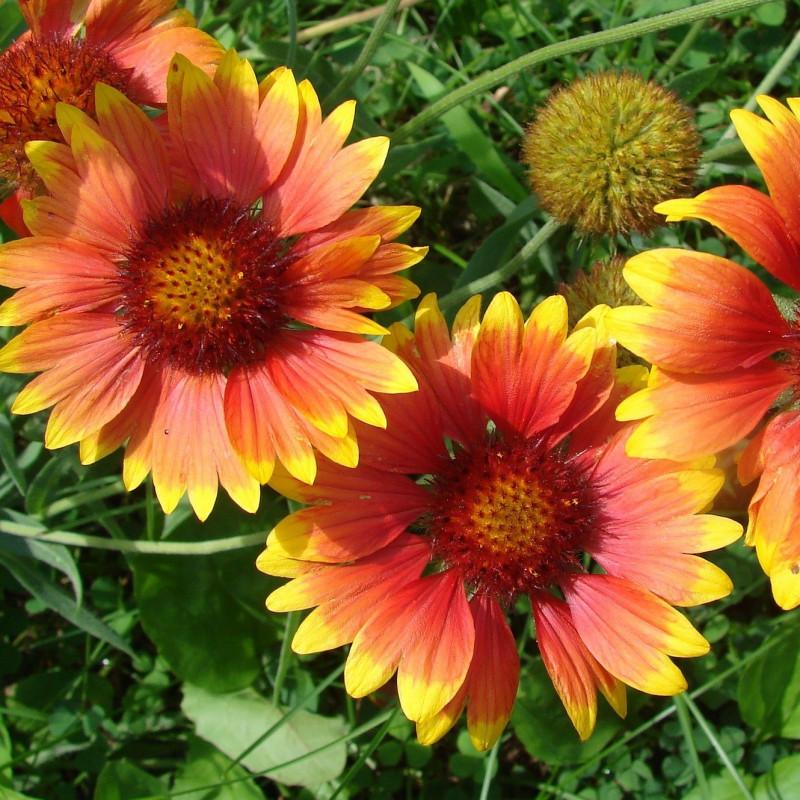 Gaillardia aristata par Robbi Hoy de Pixabay