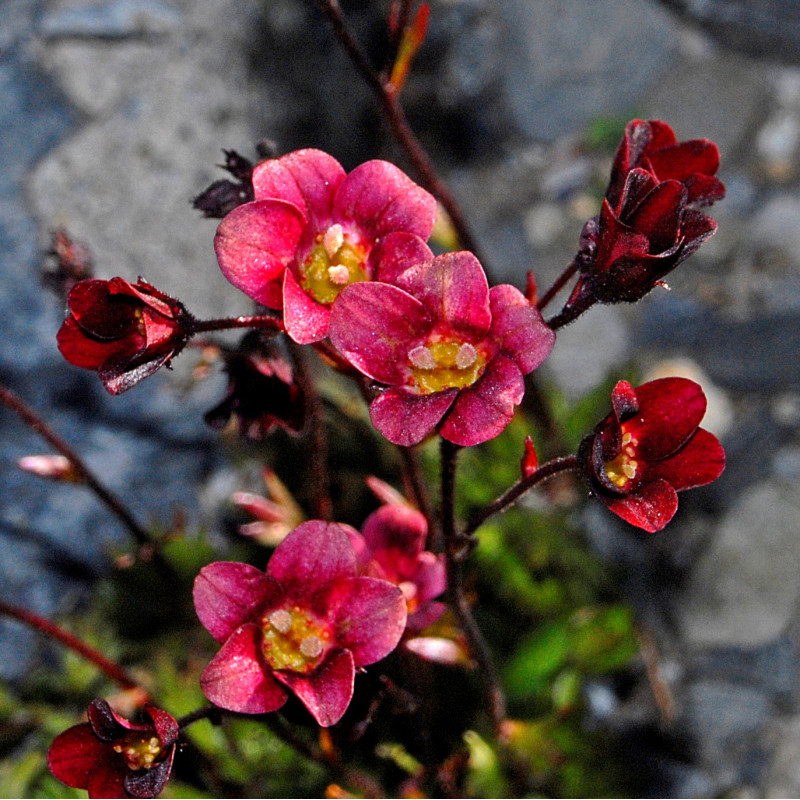 Saxifraga x arendsi de Hectonichus, CC BY-SA 3.0 via Wikimedia Commons