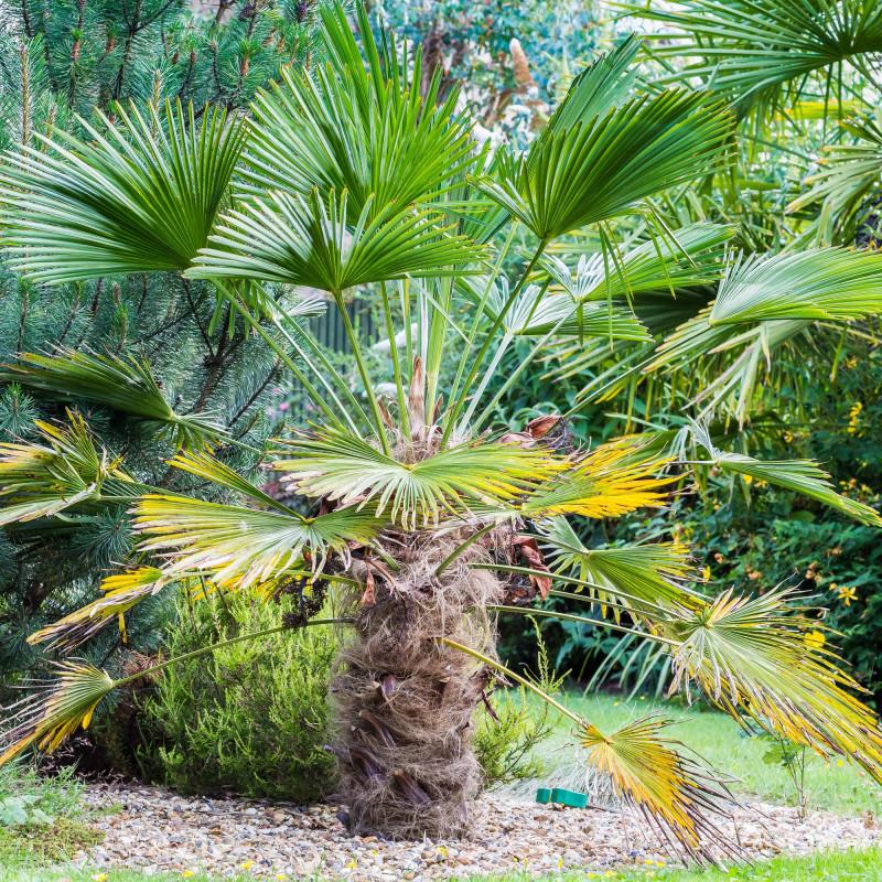 Trachycarpus Wagnerianus par Simon Thomas de Wikimedia commons